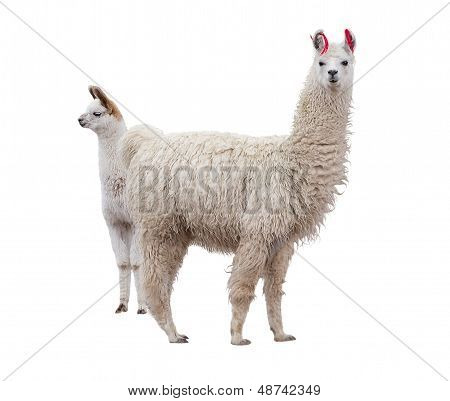 Female llama with baby