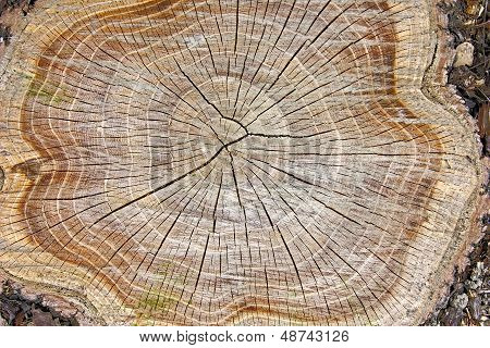 Stump Of Tree
