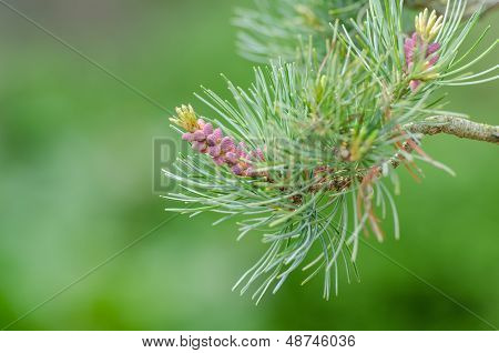 Buds Of A Japanese Five Needle Pine (pinus Parvifolia)