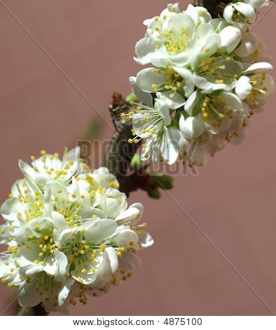 Blooming Plum Tree Branch -(prunus Cultivar)