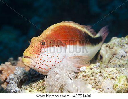 Freckled Hawkfish On A Tropical Coral Reef