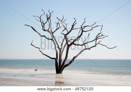 Live Oak tree standing dead in the surf