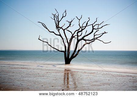 Live Oak tree dead in the surf