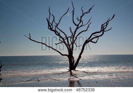 Live Oak Tree standing in surf
