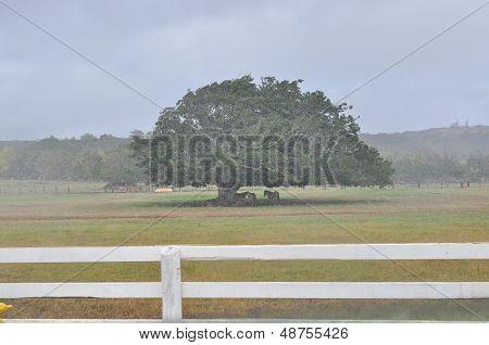 Horses in rain