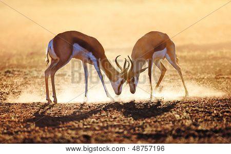 Springbock dual in Staub - Kalahari-Wüste - Südafrika