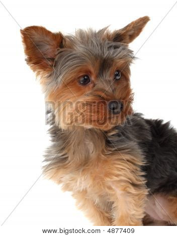 cute yorkshire terrier dog isolated on white background poster