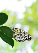 Tree Nymph butterfly on leaf with bright background. Idea leuconoe poster