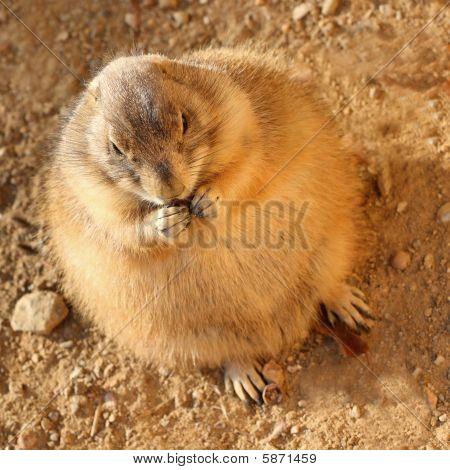 Groundhog Eating A Leaf