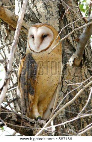 Barn Owl In Tree