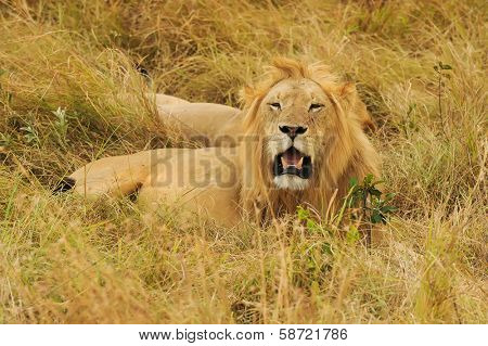 KENYA - AUGUST 9: An African Lion (Panthera leo) on the Masai Mara National Reserve safari in southwestern Kenya.
