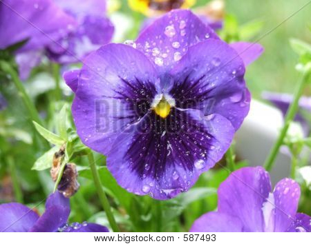 Spring Time Pansy