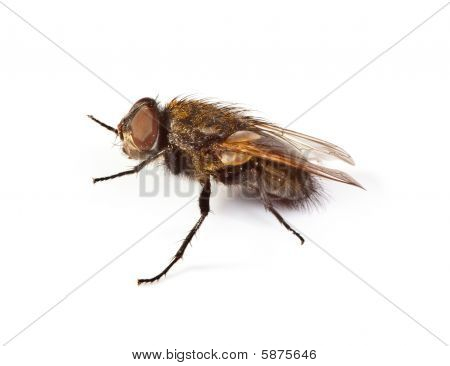 home fly on white background small natural shadow is visible under the fly poster