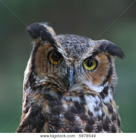 Great Horned Owl close-up