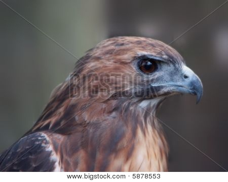 Close-up image of hawk