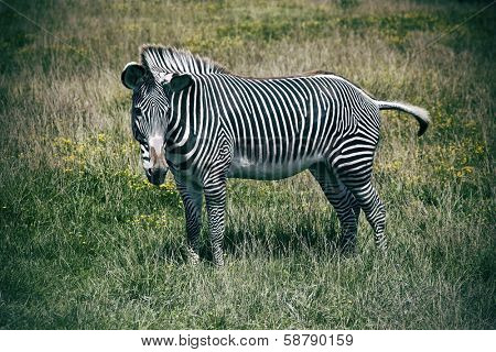 Wild Grevy's zebras graze in the grass