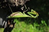 Large green mantis is washing on the vine tree poster