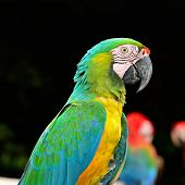 Colorful Harlequin Macaw aviary (juvenile) side profile poster