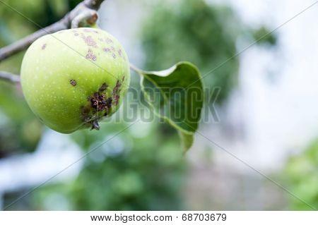 Apple Scab, Fruit Disease