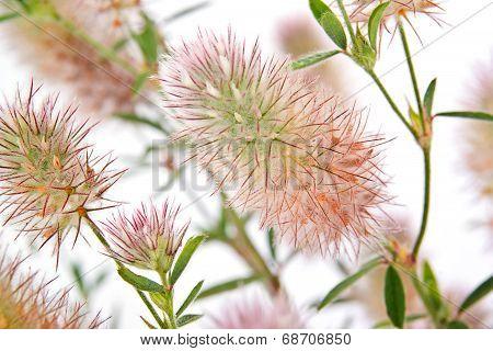 Clover. Trifolium Arvense