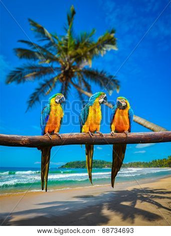 Tropical vacation concept - three parrots (Blue-and-Yellow Macaw (Ara ararauna) also known as the Blue-and-Gold Macaw ) on tropical beautiful idyllic beach and sea background
