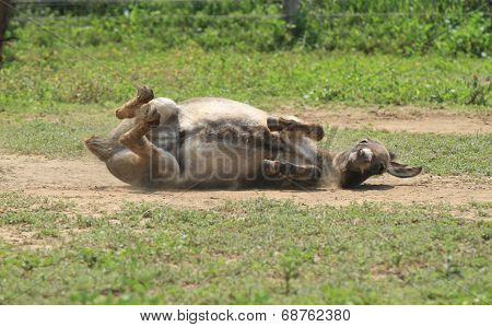 Funny Donkey rolling in the dirt