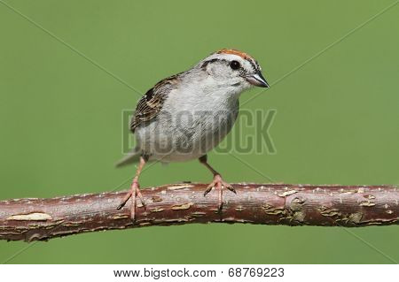 Sparrow On A Branch Singing