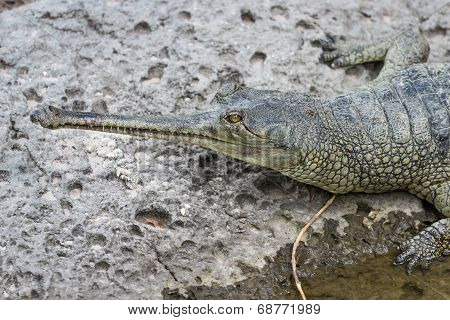 portrait of a needle nose alligator on a wet rock poster