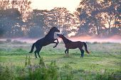 horses fighting on misty pasture at sunrise poster