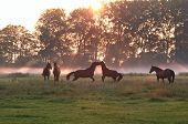 jumping playing horses in sunrise fog and sunbeams poster