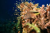 Freckled Hawkfish (Paracirrhites forsteri) on an Acropora coral poster