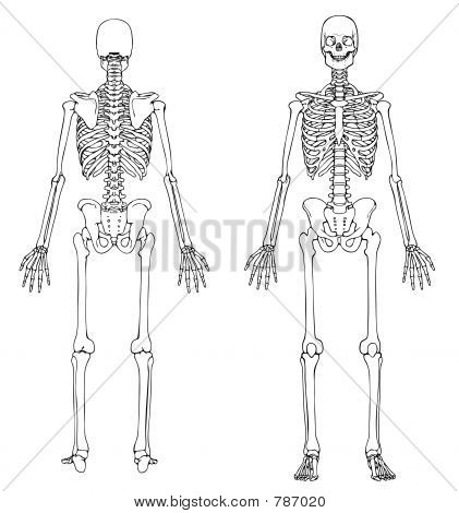 Human Skeleton Front Back Image Photo Bigstock