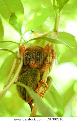 Small Tarsier On The Tree Branch