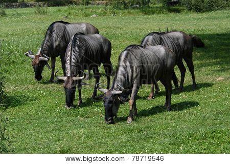 Blue wildebeests (Connochaetes taurinus).