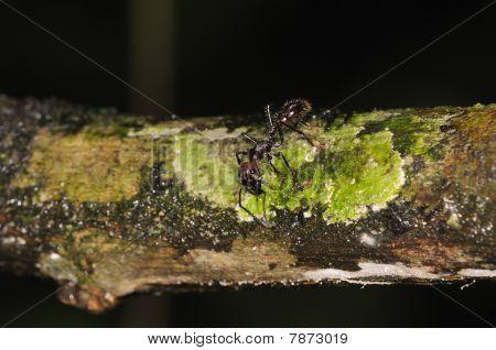 Bullet Ant Paraponera Clavata