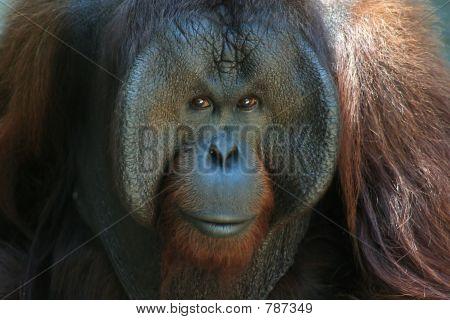 Majestic orangutan