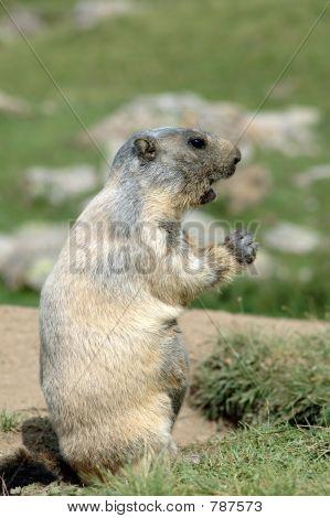 Female marmot speaking to her family poster