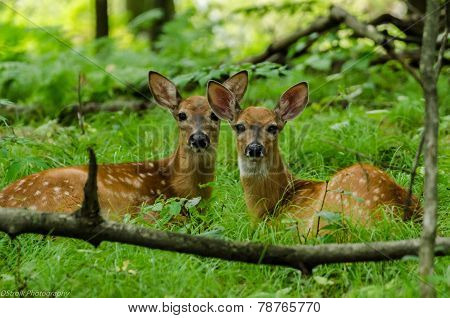 Two whitetail fawns