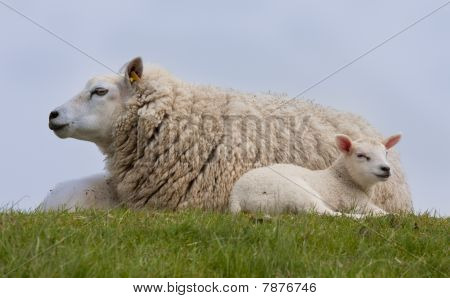 Sheep with two little lambs resting in the grass poster