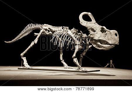 Dinosaur Skeleton - Protoceratops