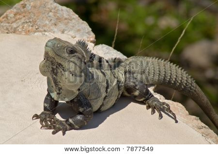 Green Iguana perched on the steps of a Mayan Pyramid