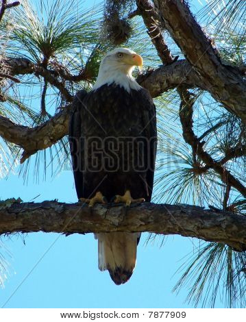 Bald eagle perched on a big pine tree. poster
