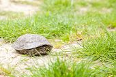 European pond terrapin hiding in its shell poster