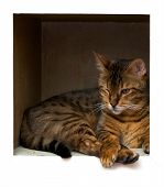 A bengal cat is laying on a wooden shelf looking down away from viewer and the shelf blends into the background. poster