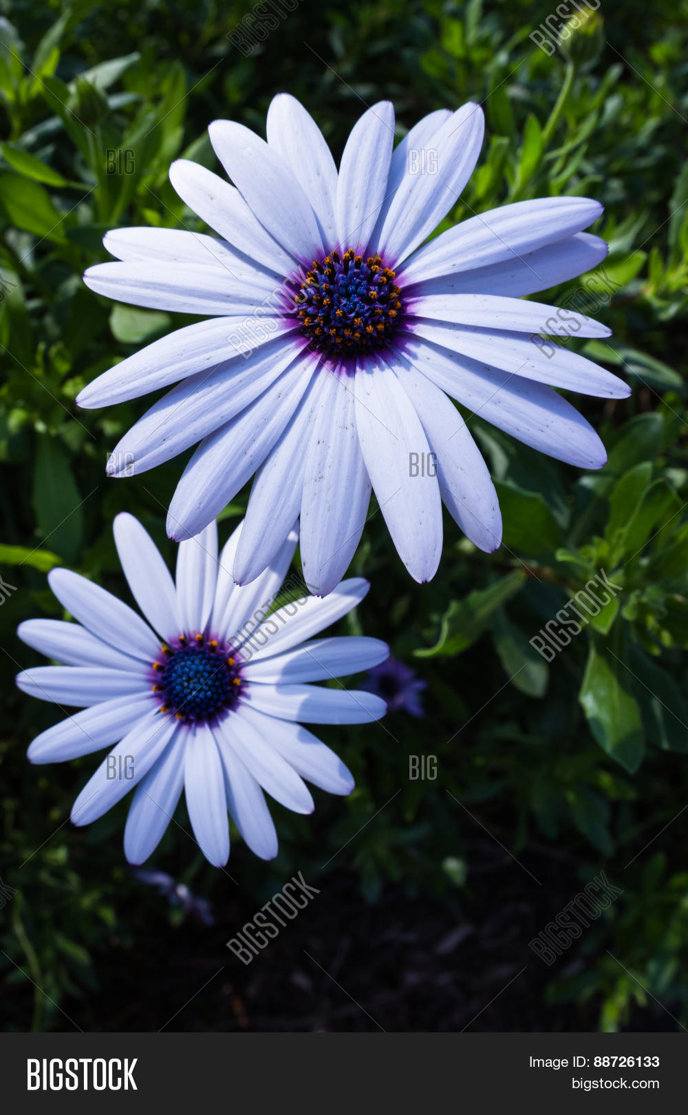 African Moon Flowers Image Photo Free Trial Bigstock
