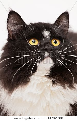 Close-up Of Black And White Siberian Cat