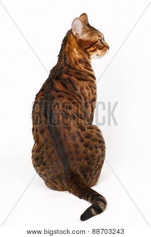 Bengal Cat Profile Shot