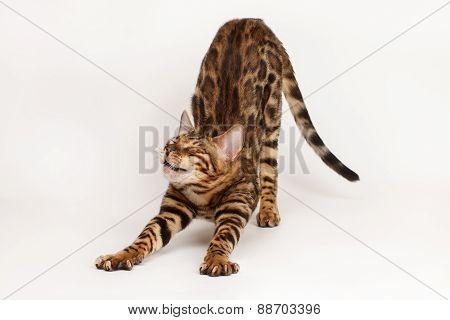 Bengal Cat Waking Up