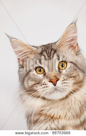Maine Coon Cat Close-up