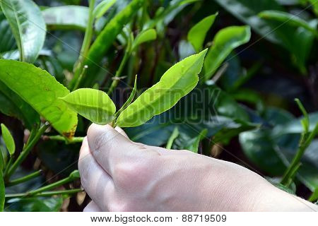 Tea Plant Green Leaf Harvest By Human Hand